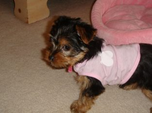 Registered Yorkie Puppies for Adoption (313) 518-6618