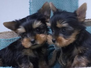 Tiny Adorable Yorkie Puppies (313) 518-6618