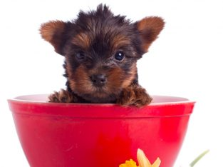 Quality Bred Family Rasied Yorkie Pup (313) 518-6618