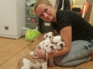 Beautiful little medium black mask English Bulldogs